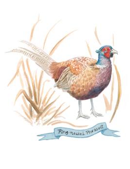 1859_Nov_Dec_2015_Feature-Birding_Karen_Eland_pheasant