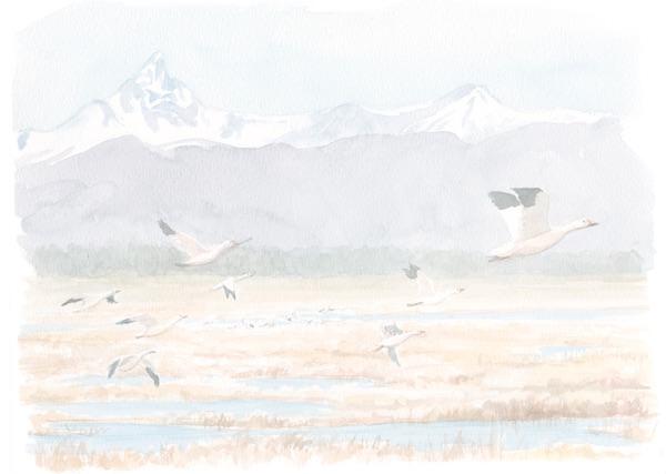 1859_Nov_Dec_2015_Feature-Birding_Karen_Eland_snow-geese-spread