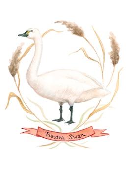 1859_Nov_Dec_2015_Feature-Birding_Karen_Eland_tundra-swan