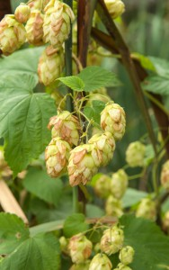 bigstock-Ripened-Hop-Cones-In-The-Hop-G-86901452
