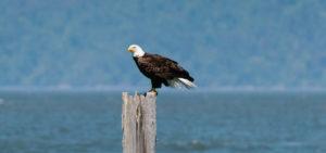Cameron Zegers Bald Eagle