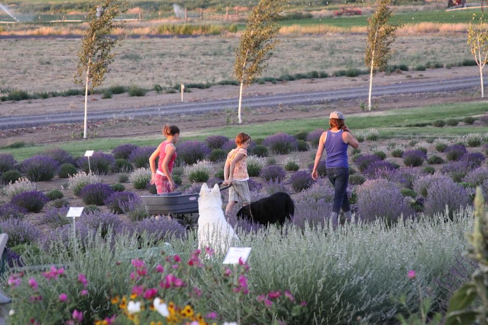 cascade lavender farm