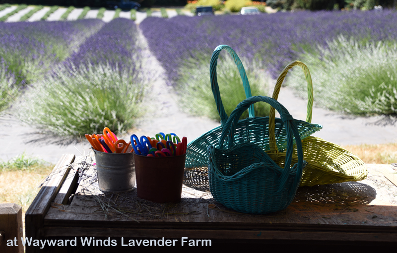 Lavender U-Pick at Wayward Winds