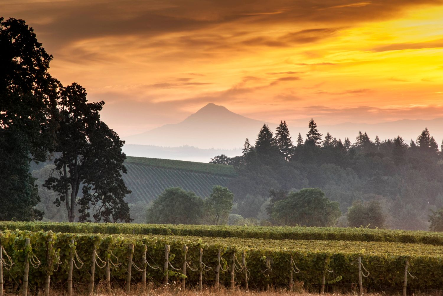 Stoller Vineyard View of Mt Hood